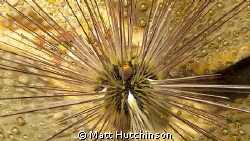 This Urchin shot was taken on one of my first attempts in... by Matt Hutchinson 